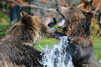Two angry grizzly bears fighting